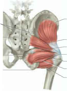 Gluteus Maximus And Coccyx Pictures