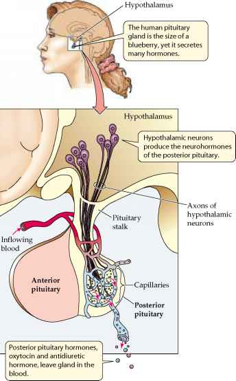 Posterior Pituitary And Hypothalamus