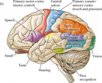 Functional Areas The Cerebrum