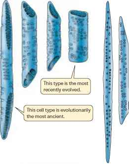 Xylem Tracheids And Vessels