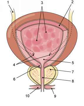 Interior Male Urinary Bladder