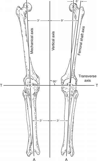 Femoral Sulcus Anatomy