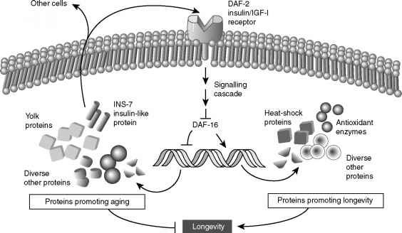 Insulin Signalling Pathway