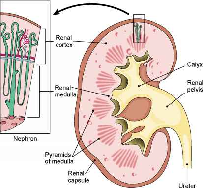 The nephrons medical terminology 78 steps health journal nephrons diagram ccuart Image collections