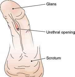 Medical definition of penis