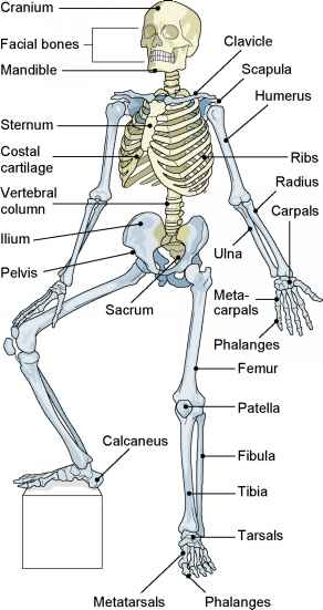 Medical Terms Skeleton