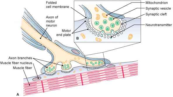 Sole Foot Neuromuscular Junction
