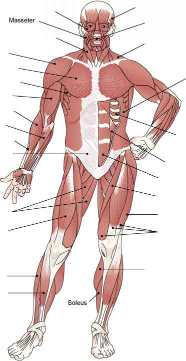 Muscle Structure - Medical Terminology - 78 Steps Health ...