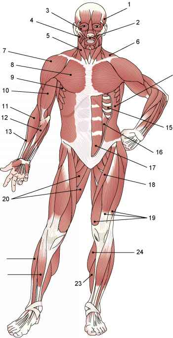 Muscle Labeling Exercises