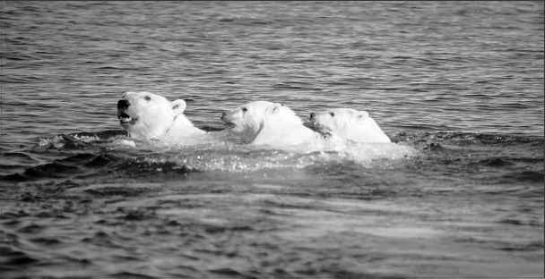 Natural Selection Polar Bears