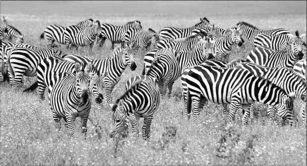 Zebras Predators And Prey