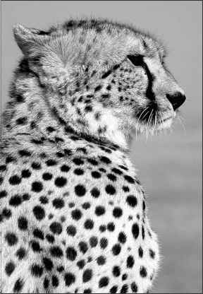Cheetah Natural Selection