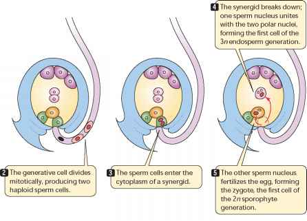 The By Is Sperm An The Angiosperm Of Formed