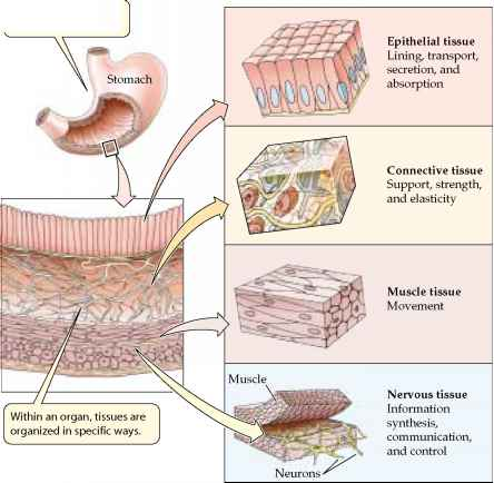 Anatomy Of Neck And Shoulder Muscles likewise Scleroderma further Lab 8 Enzymes moreover Blood brain barrier in addition Muscles Of The Body Guide Detailed Illustration Of Human Muscles Exercise And Muscle Guide. on muscular organs