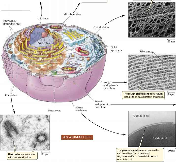 The cell. 4. Nucleus. Chromatin. Atlas of plant and animal