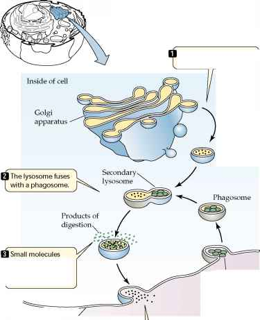 Secondary Lysosome Diagram Complete Wiring Diagrams