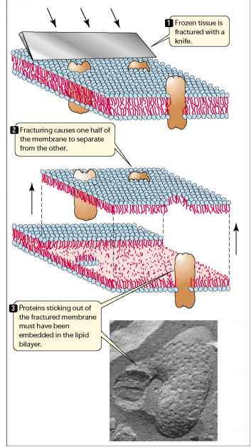Freeze Fracture Method Plasma Membrane