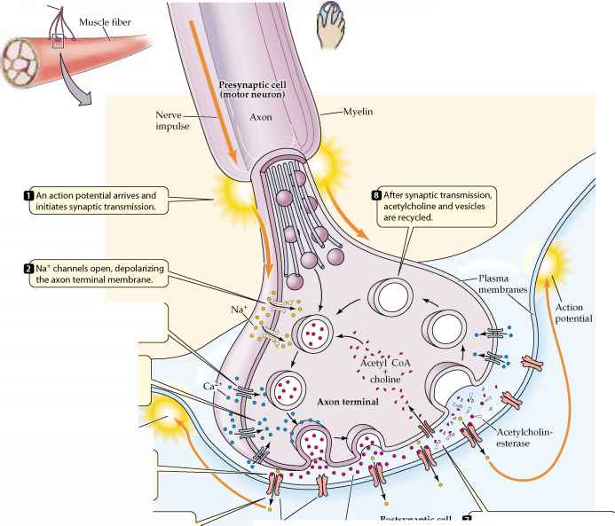 Neurons synapses and communication plasma membrane acetylcholine neuromuscular junction ccuart