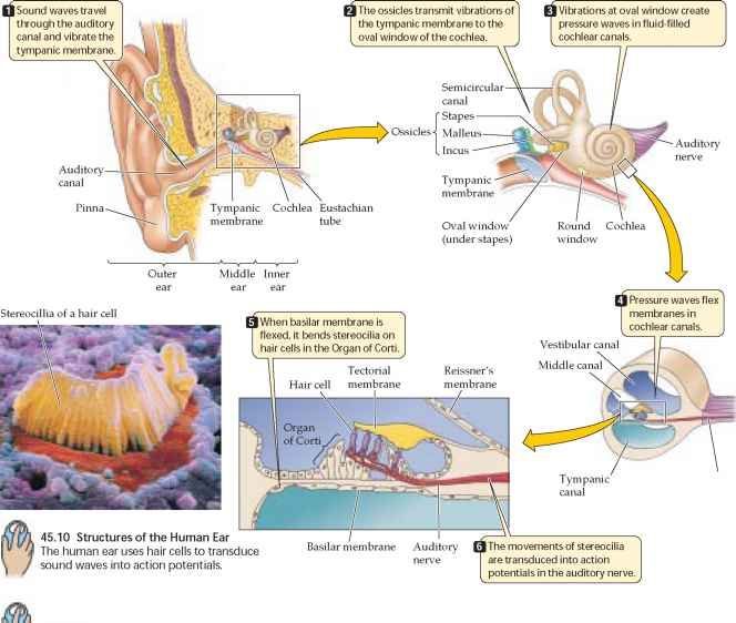 Transduction Sound Auditory Nerve