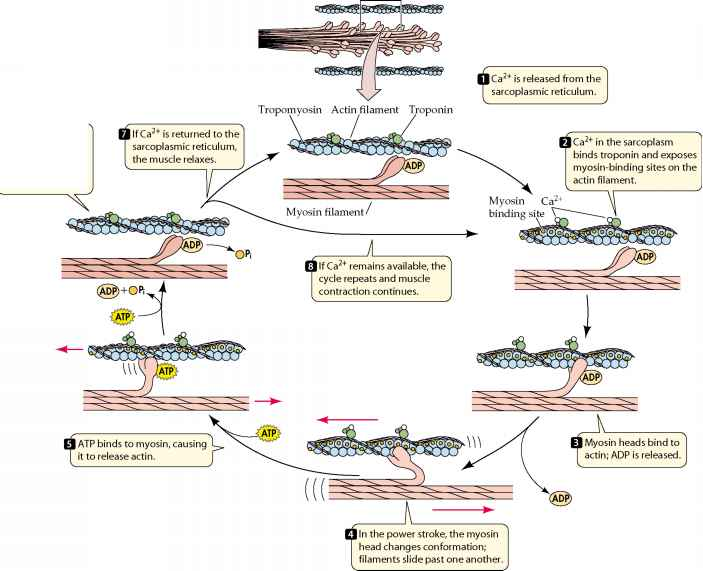 diagram of muscle in the body steps of muscle contraction - plasma membrane calcium cycle diagram in muscle