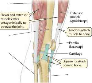 Leg Muscles Joints Tendons Kick Ball