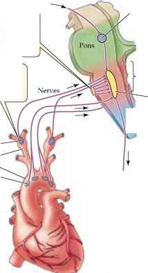 Medulla Carotid Body Aortic Body