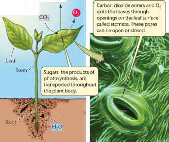 Gas Production And Photosynthesis