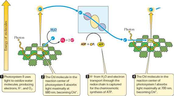 Noncyclic electron transport produces ATP and NADPH ...