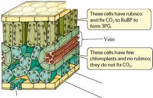 C3 leaf anatomy