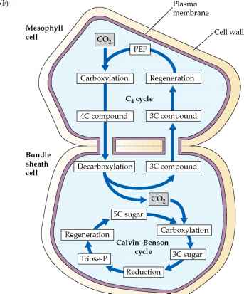 C4 plants can bypass photorespiration - Plasma Membrane