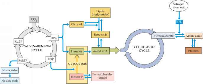 The Metabolic Pathways Photosynthesis
