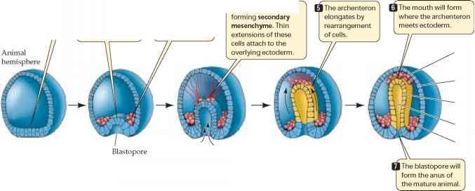 Gastrulation Producing the Body Plan - Plasma Membrane