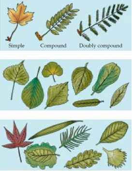 Types Leaf Divisions