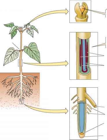 A hierarchy of meristems generates a plants body - Plasma ...