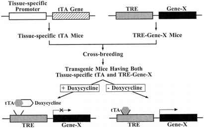 Transgenic Mice Tre