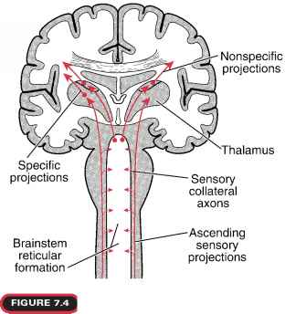 ascending reticular activating system location