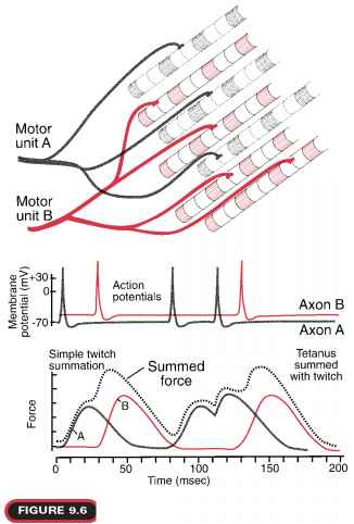 Speed Contraction Muscle