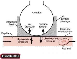 alveoli and capillaries relationship marketing