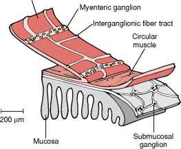Structure Longitudinal Muscles