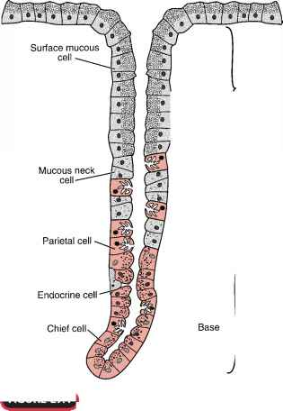 diagram of the chest and stomach numerous cell types in the stomach contribute to gastric