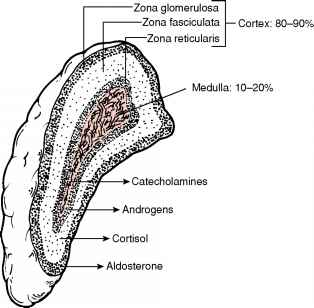 The Three Zones The Adrenal Cortex
