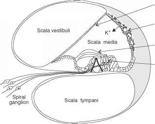 The Role Stria Vascularis Hearing