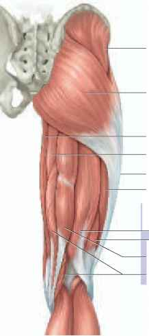 Posterior View Gluteal And Thigh