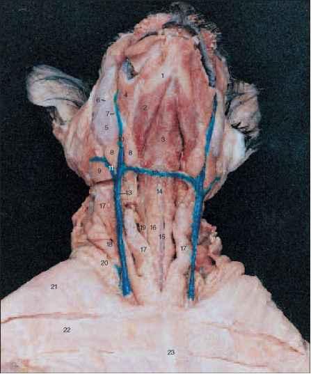 posterior superior iliac spine temporal bone
