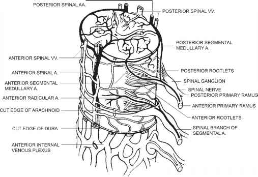 Coccyx And Nerve Nodes